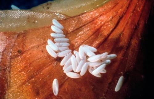 Размножение насекомых происходит путем кладки яиц