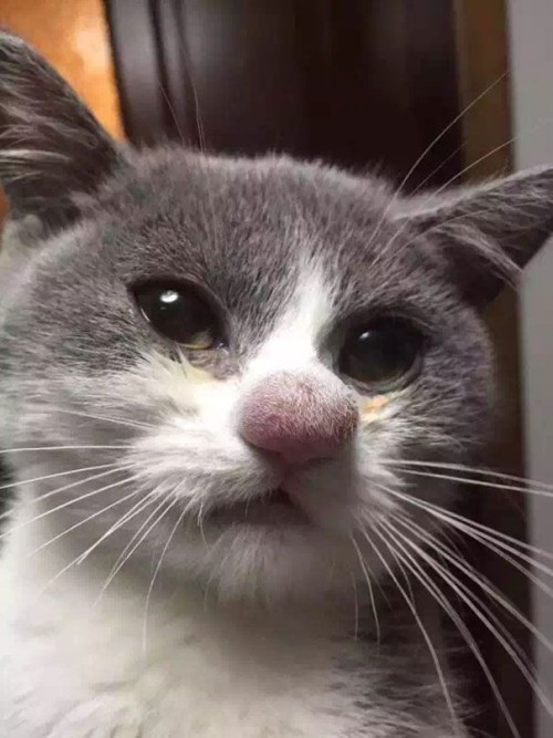 Оса укусила кошку в нос
