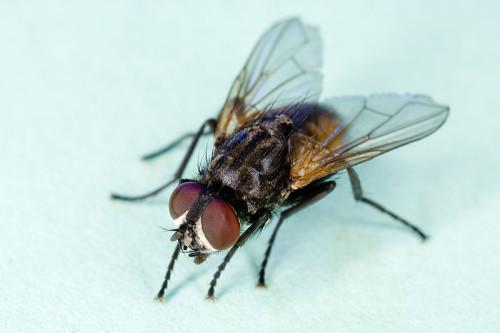 Musca domestica, домашняя (комнатная) муха