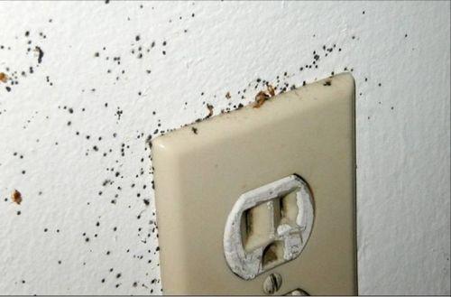 Клопы могут жить на стене и в розетках
