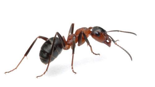 Как избавиться от муравьев на пасеке расскажет данная статья