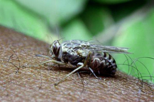 Продолжительность жизни насекомого составляет всего 200 дней
