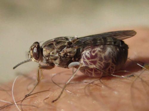 В настоящее время ведется борьба по уменьшению количества насекомых, однако она безрезультатна