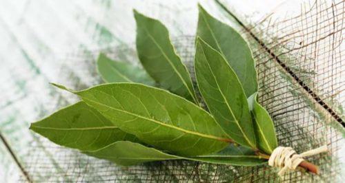 Можно использовать свежие веточки растения