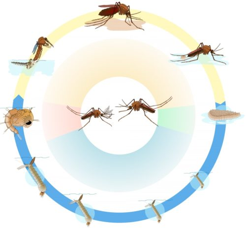 Продолжительность жизни насекомого зависит от множества факторов