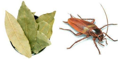 Лавровый лист используют в качестве борьбы с тараканами