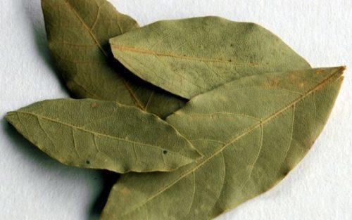 Сухие листья лавра дольше сохраняют аромат