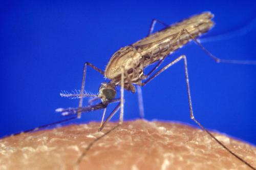 Укусы тайландских комаров могут быть опасны для человека