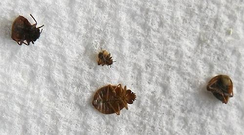 Клопы погибают при очень высокой и низкой температуре