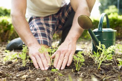 В грядки следует посадить пахучие растения