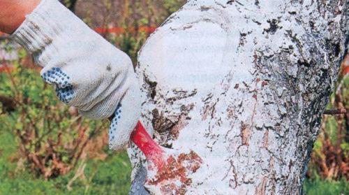Стволы деревьев обрабатывают известкой
