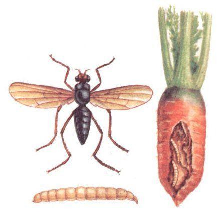 борьба с морковной мухой на грядках