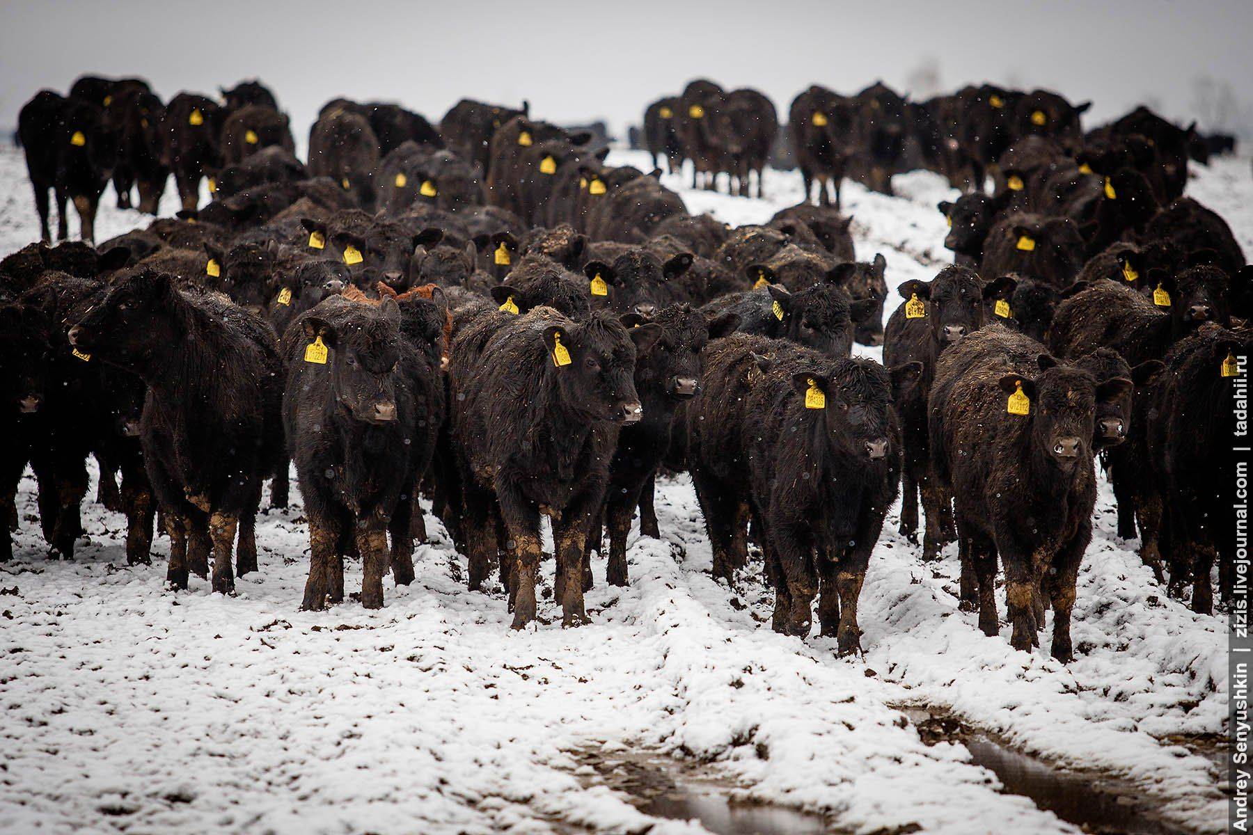 овод и крупный рогатый скот