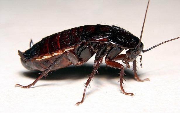 Кусают ли домашние тараканы людей и как может выглядеть укус