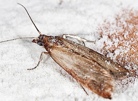бабочка пищевой моли