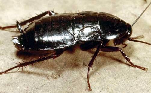 черный таракан