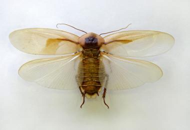 Летают ли домашние тараканы