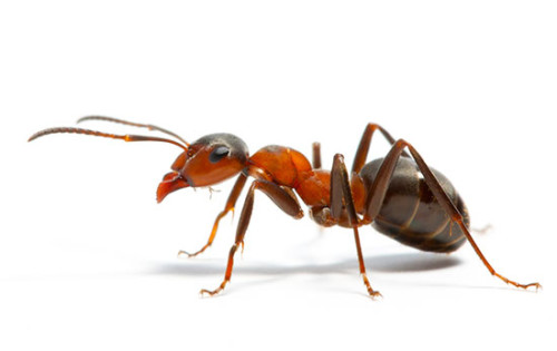 муравей фото