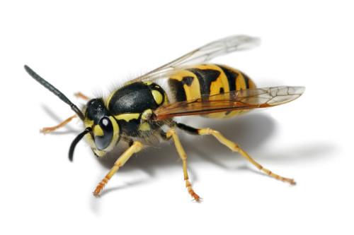 Остается ли жало после укуса осы