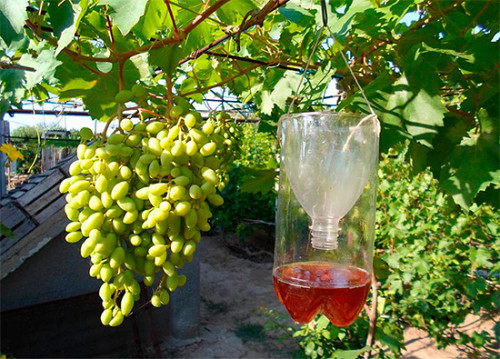 способы защиты винограда от ос