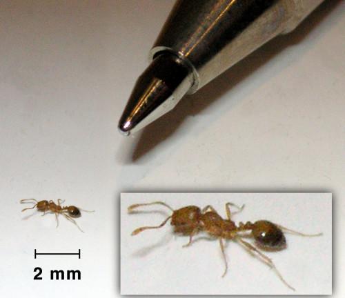 Фараонов муравей - небольшое насекомое желтого окраса