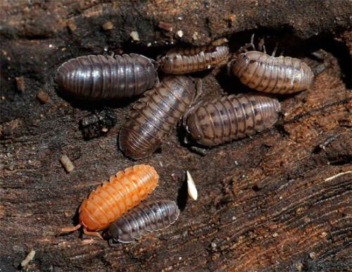 Мокрицы в квартире — откуда берутся мокрицы, почему – размножение, истребление и места обитания