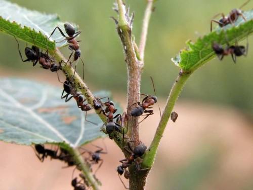 муравьи в теплице