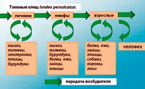 схема циркуляции вируса