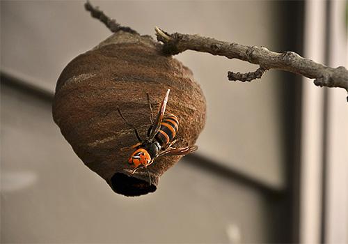 матка японского шершня