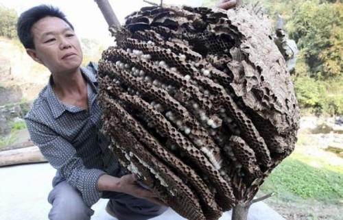 огромный улей японских шершней
