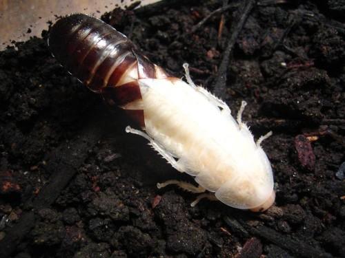 линька таракана