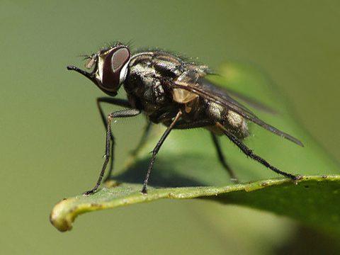 муха жигалка