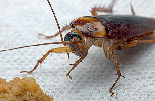 тараканы еда