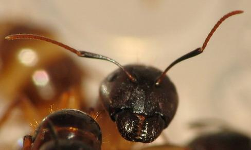 усики у муравья