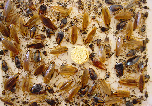Клеевая ловушка с тараканами