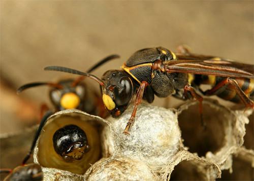 осы приносят пищу личинкам