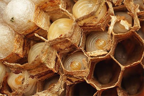Взрослые особи кормят личинок, принося им различных насекомых