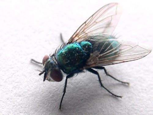 Как муха видит человека