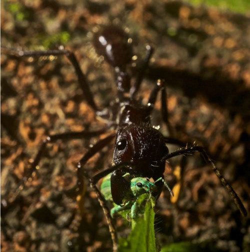 Взрослые особи способны питаться другими насекомыми