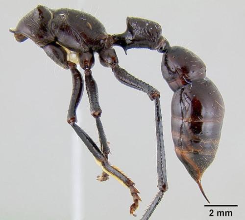 Насекомые считаются самыми крупными среди муравьев