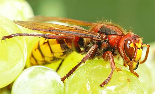 Взрослые особи питаются фруктами и нектаром