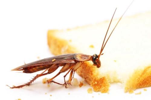 Главное для тараканов в жилище наличие воды и еды