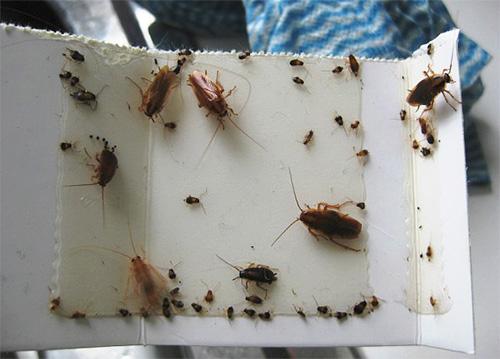 Клеевая ловушка с пойманными тараканами