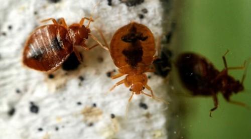 Инсектицид обладает мгновенным смертельным действием на клопов