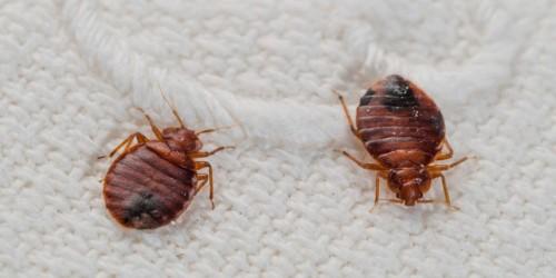 Ели на теле обнаружены подозрительные укусы, следует осмотреть белье на наличие клопов