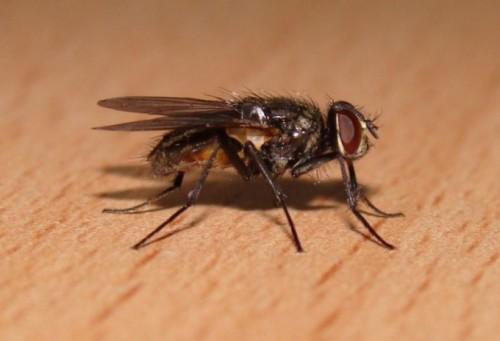 Продолжительность жизни насекомого довольно коротка и не превышает 4 недель