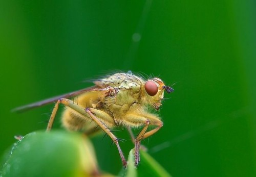 Навозная муха (Scathophagidae)