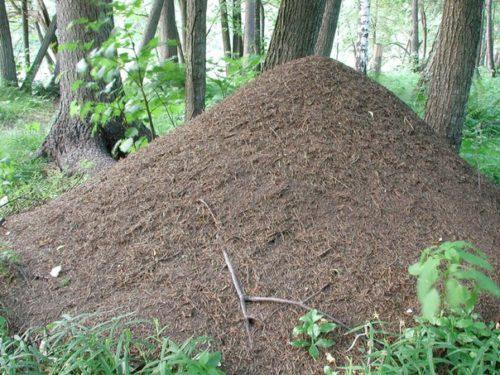 Если муравейник небольшой, его переносят на другое место