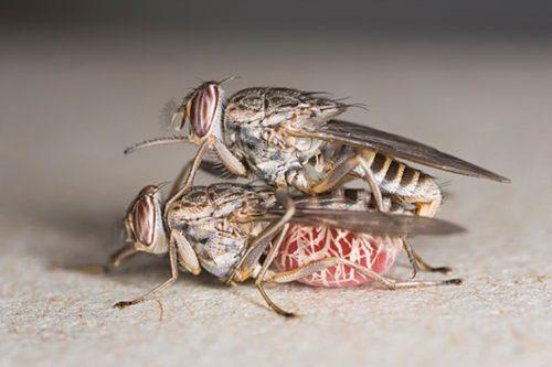 Самка спаривается с самцом всего 1 раз в жизни