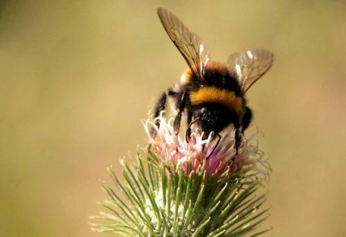 За нектаром шмели предпочитают летать по одиночки